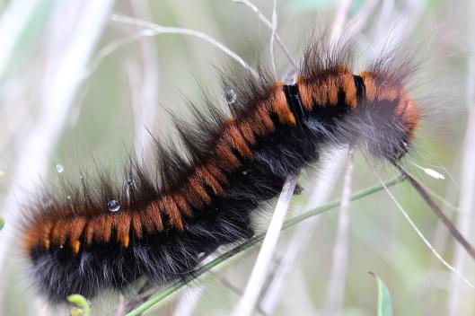 Tierfotos - Schmetterlinge - Raupe des Brombeerspinners