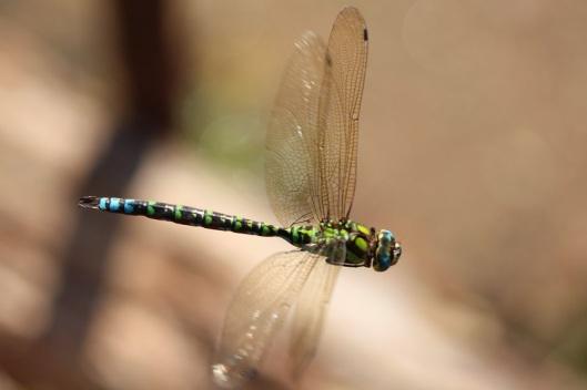 Tierbilder - Libellen - Blaugrüne Mosaikjungfer im Flug