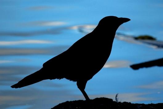 Tiere - Tierfotos - Vögel - Rabe