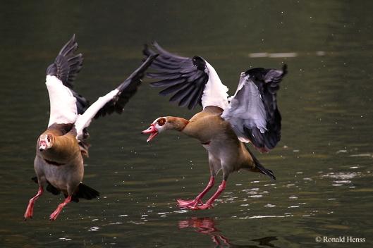 Tierfotos - Tierbilder - Vögel - Vogelfotos - Nilgans jagt Nilgans