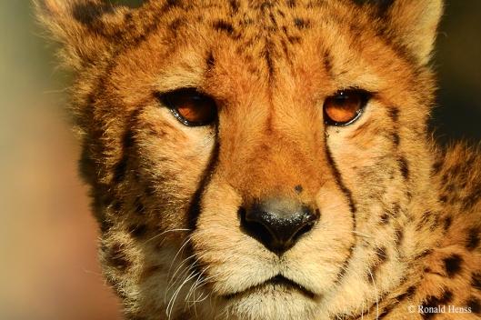 Gepard im Saarbrücker Zoo