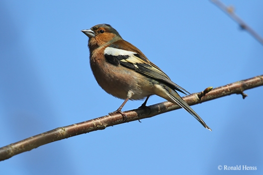 Vögel Singvögel Buchfink