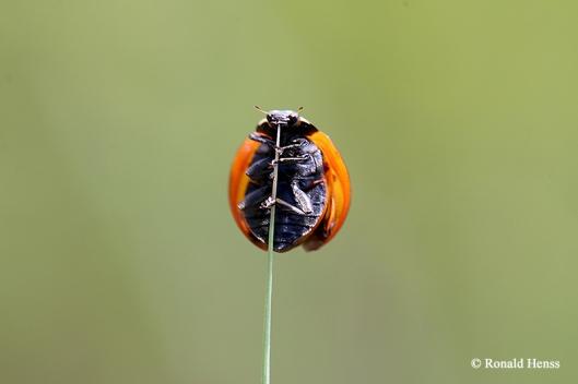 Käfer, Marienkäfer