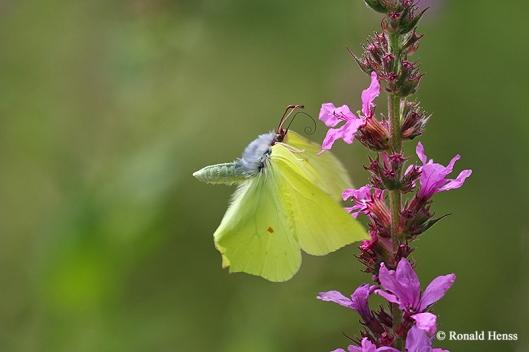 Schmetterlinge Zitronenfalter im Flug