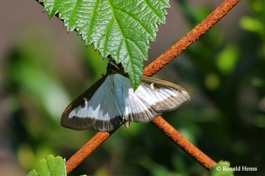 Schmetterlinge Nachtfalter Buchsbaumzünsler Cydalima perspectalis