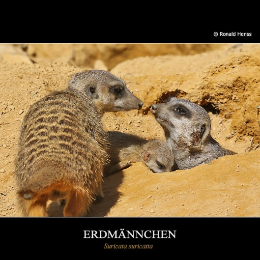 Tiere Erdmännchen mit Baby im Saarbrücker Zoo