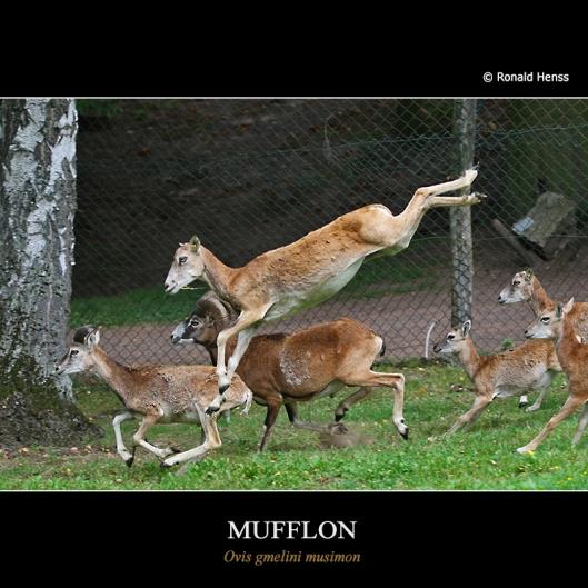 Fliegendes Mufflon im Saarbrücker Wildpark