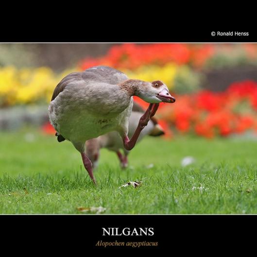 Nilgans