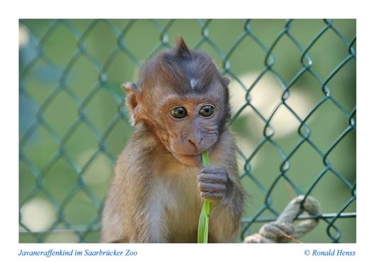 Tiere Tierfotos Tierkidner. Javaneraffenkind im Saarbrücker Zoo